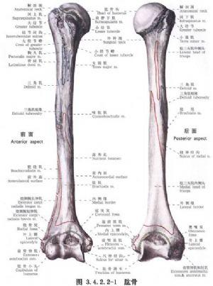 與肱骨外科頸骨折或骨骺分離切開復位加壓螺絲釘內固定相關的文獻報道 醫學百科